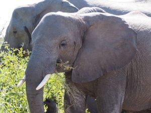 Big Chobe elephant herds