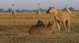 Lions watch giraffe at Chobe Game Reserve