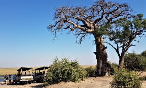 Baobab trees in the Chobe National Park