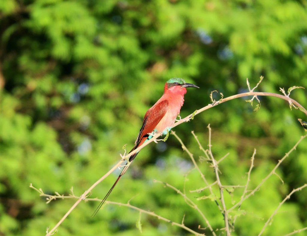 Carmine bee-eater in the Chobe National Park