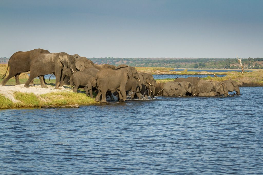 Elephant crossing the Chobe River