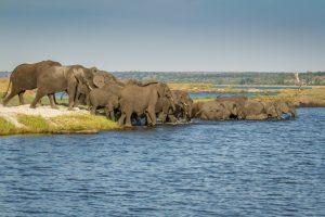 Elephant crossing the Chobe River