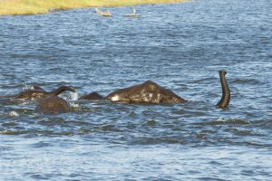 Elephants swimming across the Chobe River in the Chobe National Park