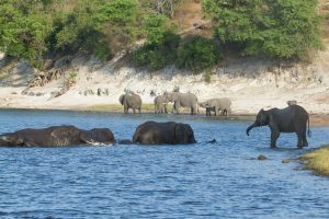 Elephant in the Chobe National Park in Botswana