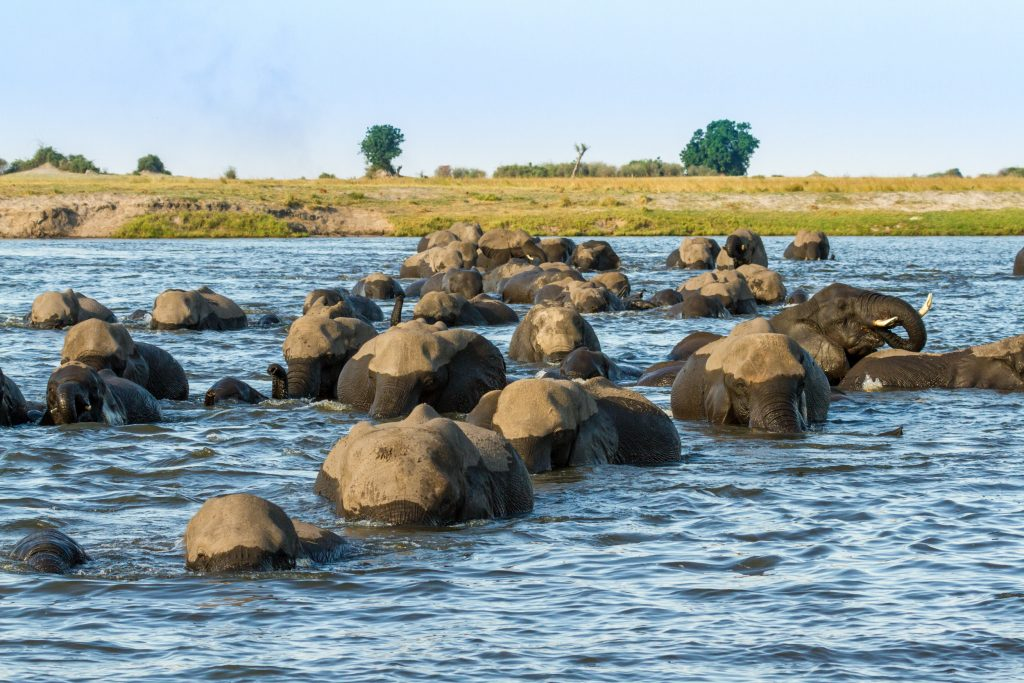 A massive herd of elephants crossing the Chobe River