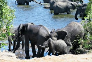 Baby elephant in the Chobe National Park