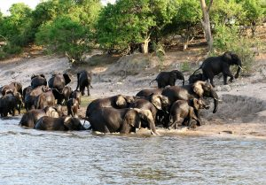 The elephants of the Chobe National Park