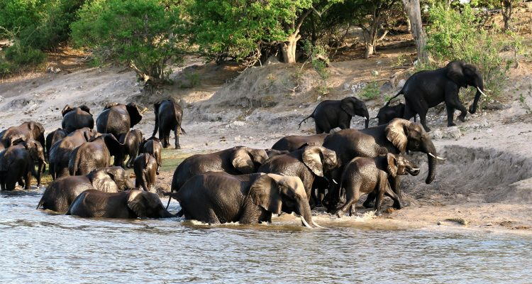 The elephants of the Chobe National Park