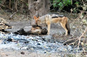 Jackal in the Chobe National Park with Chobe Game Lodge