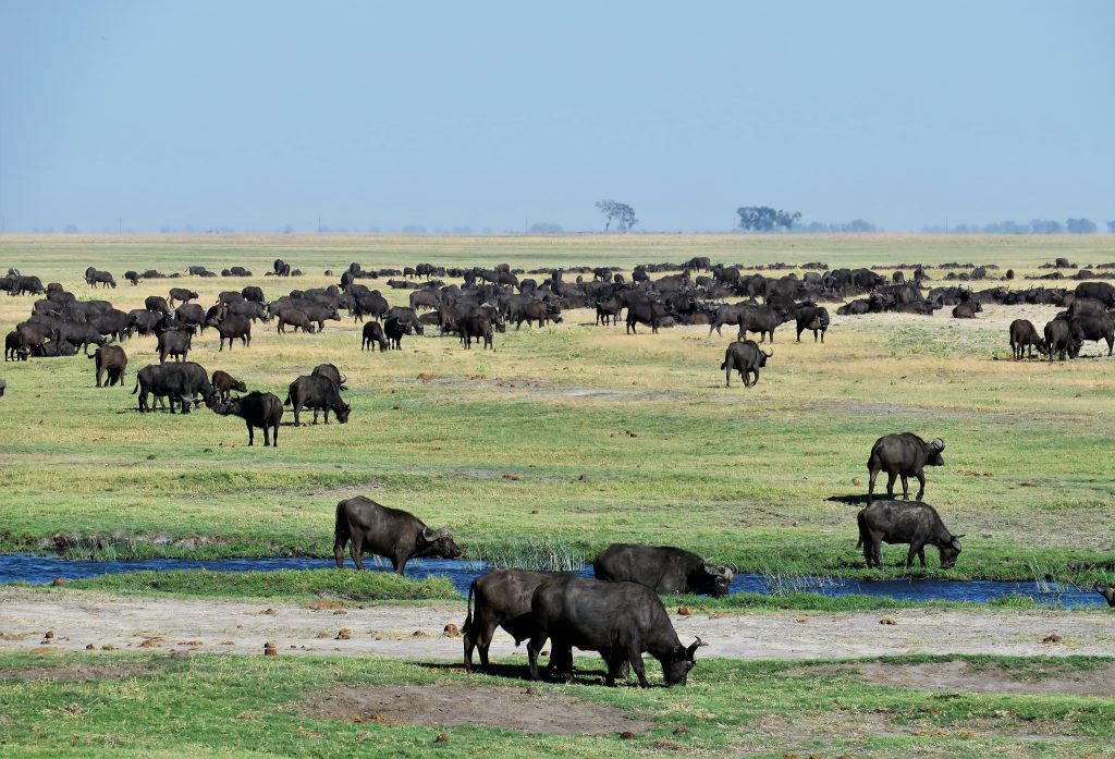 Buffalo in the Chobe National Park