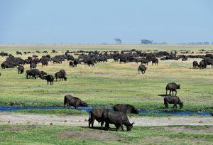 Buffalo in the Chobe National Park