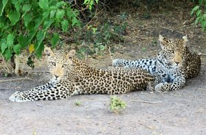 Leopard in the Chobe National Park with Chobe Game Lodge