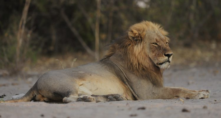 Male lion in the Chobe National Park near Chobe Game Lodge
