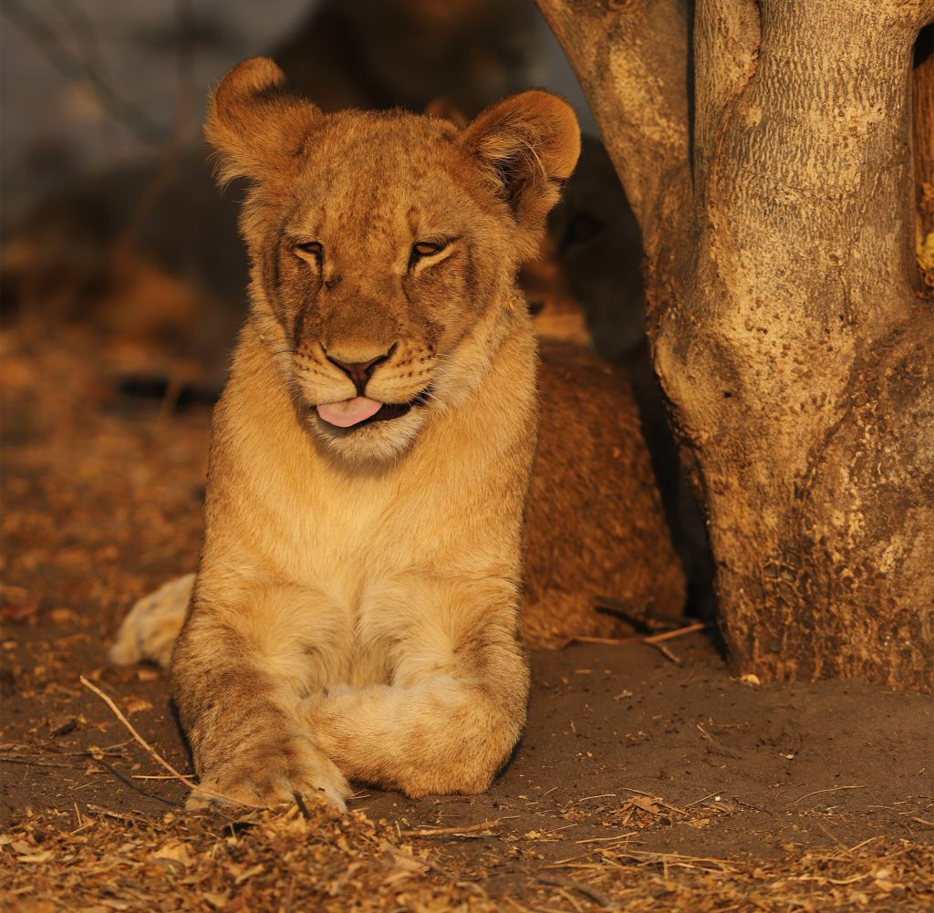 One of the sub adult male lion in the Chobe Pride