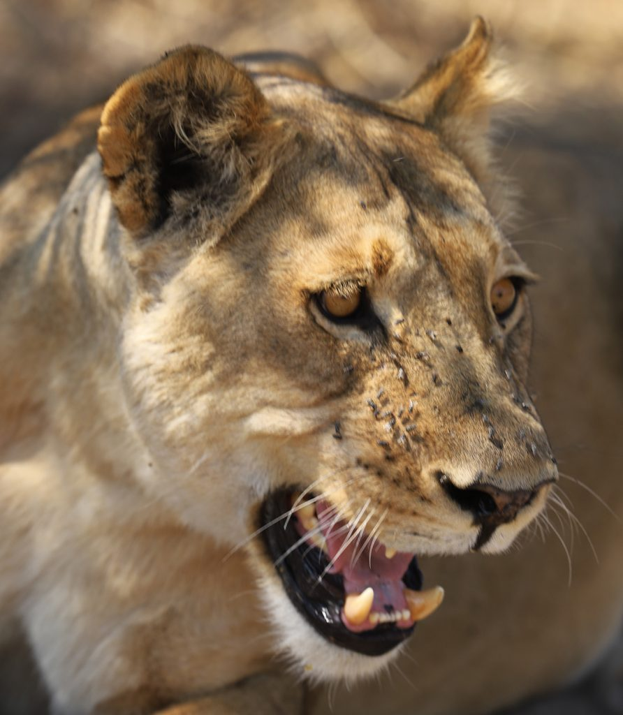 One of the females in the lion pride around Chobe Game Lodge