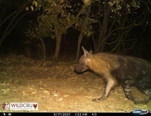 Brown Hyena on the Chobe Riverfront